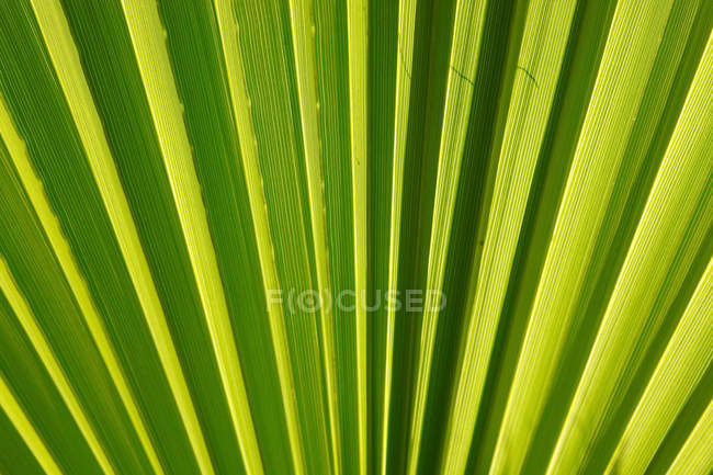 Close-up de textura de licença de palma — Fotografia de Stock