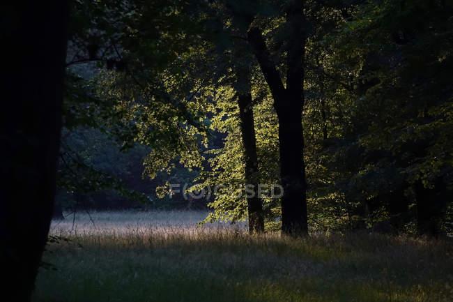 Allemagne, clairon de forêt dans la lumière du soir — Photo de stock