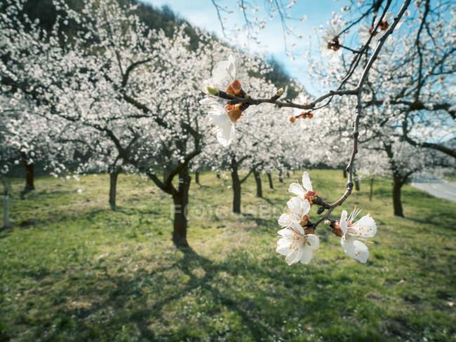 Austria, Wachau, Apricot blossoms in spring — Stock Photo