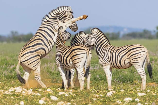 Burchell's zebras fighting in Africa, Namibia, Etosha National Park - foto de stock