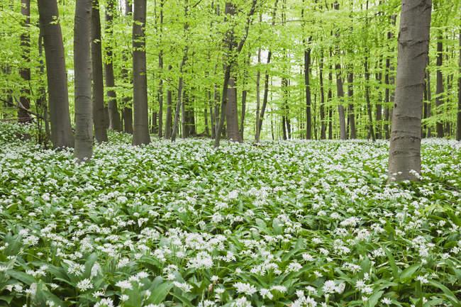 Allemagne, Rhénanie-du-Nord-Westaphalie, Eifel, fleur d'ail sauvage dans la forêt de hêtres — Photo de stock