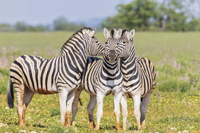 Burchell's zebras in Africa, Namibia, Etosha National Park, — стоковое фото