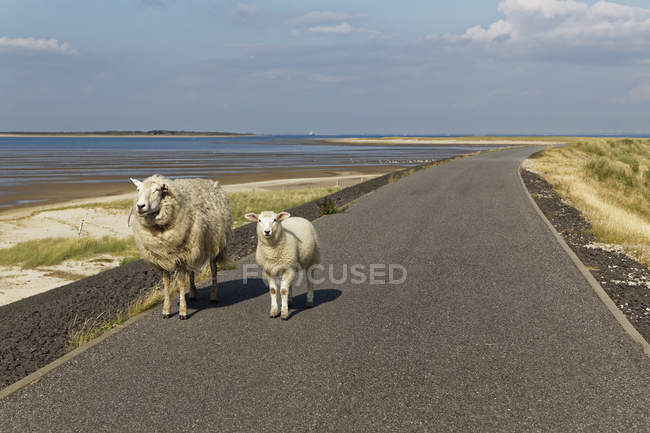 Germany, North Frisia, Sylt, Sheep on country road — Stockfoto
