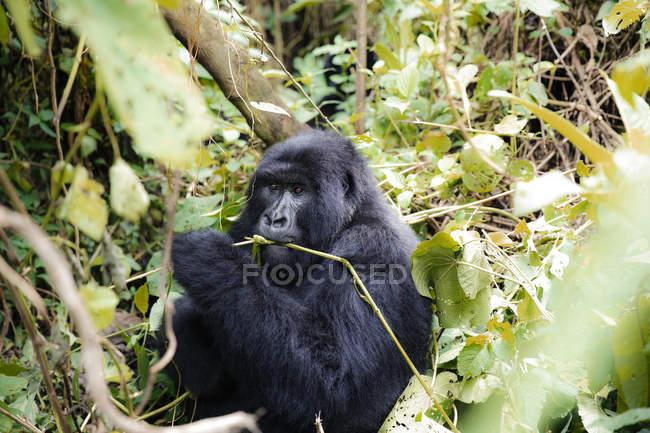 Afrique, République démocratique du Congo, Gorille des montagnes dans la jungle — Photo de stock