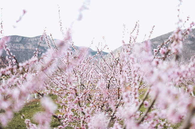 Spain, Lleida, Cherry blossoms in spring — Photo de stock