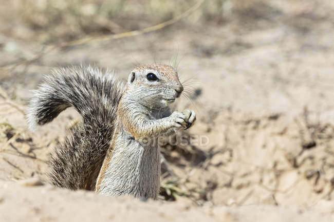 Botswana, Kgalagadi Transfrontier National Park, Mabuasehube Game Reserve, African ground squirrel, Xerus inauris - foto de stock