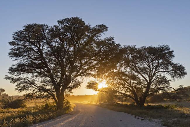 Botswana, Kgalagadi Transfrontier Park, Kalahari, gravel road and camelthorns at sunrise — Fotografia de Stock
