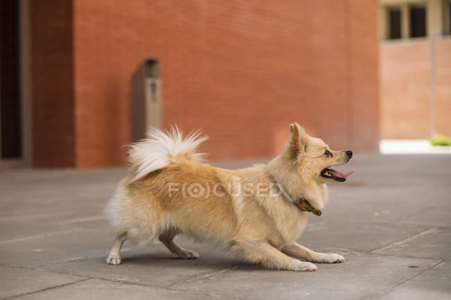 Dog playing with tongue out on street — Stock Photo