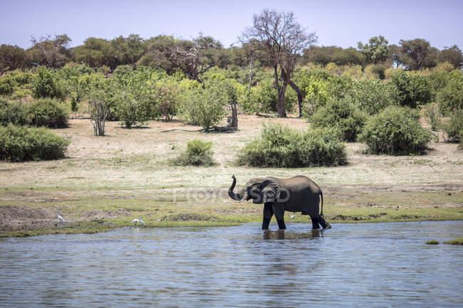 Botswana, Chobe elephant in water — Fotografia de Stock
