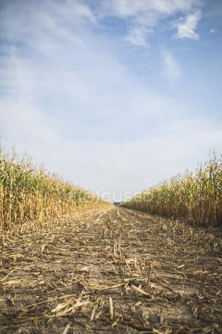 Cornfield at harvesttime, daytime — Stock Photo