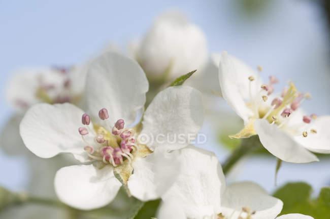 White apple blossoms, close-up — стокове фото