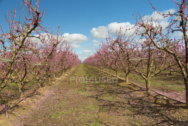 Іспанія, Айнаона, ряди квітучого персикового дерева — стокове фото
