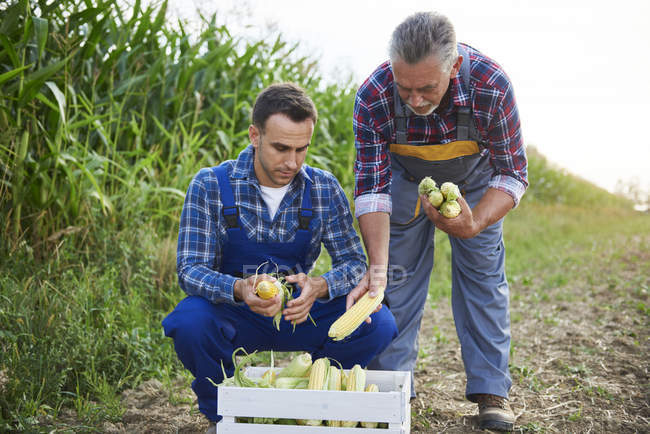 Два досвідчених фермери контролюють свій кукурудзяний врожай з дерев