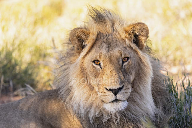 Botswana, Kgalagadi grenzüberschreitender Park, Porträt des männlichen Löwen, Panthera leo — Stockfoto