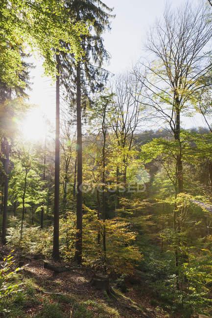 Allemagne, Rhénanie-Palatinat, Palatinat, Parc naturel forestier du Palatinat en automne, hêtres — Photo de stock