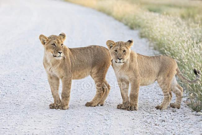 Botswana, Kgalagadi Transfrontier Park, young lions, Panthera leo, standing on gravel road — Fotografia de Stock
