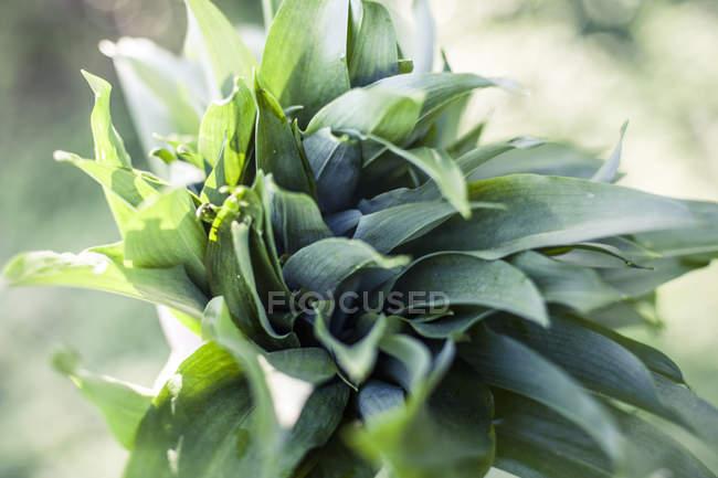 Gros plan de vert Ramson sauvage — Photo de stock