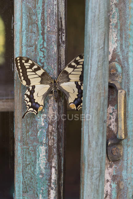 Painted blue wood, butterfly — Stock Photo