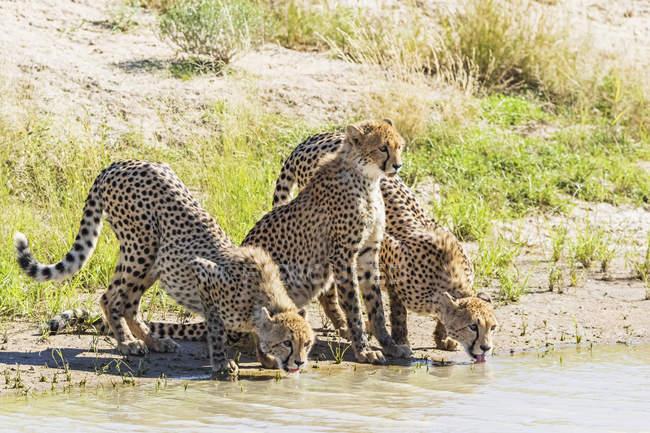 Botswana, kgalagadi grenzüberschreitender park, geparden, acinonyx jubatus, trinken — Stockfoto