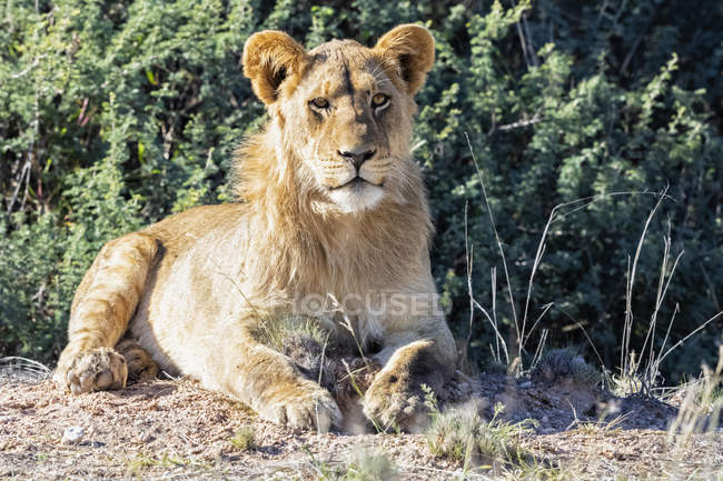 Ботсвана, Kgalagadi транскордонне парк, портрет молодого Лева — стокове фото