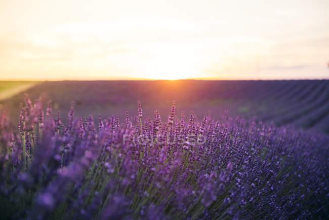 Frankreich, alpes-de-haute-provence, valensole, Lavendelblüte auf dem Feld bei Sonnenuntergang — Stockfoto