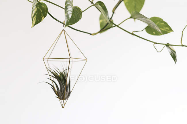 Air plant in a pendant — Stock Photo
