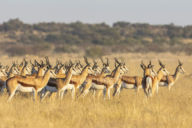 Botswana, Kalahari, Central Kalahari Game Reserve, heard of Oryx gazella — Stock Photo