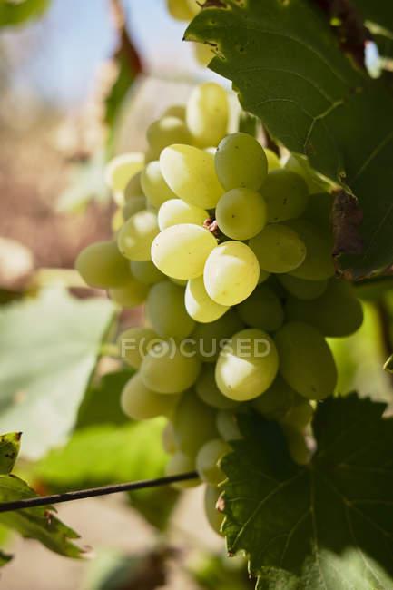 Grüne Trauben auf Rebstock — Stockfoto