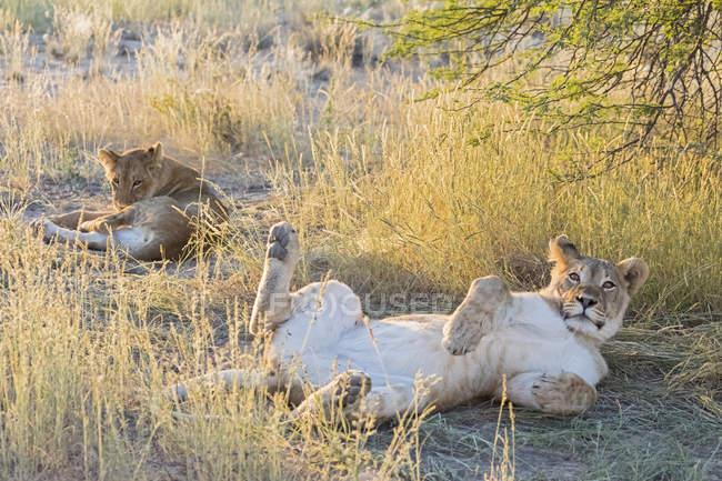 Botswana, Parque Transfronterizo Kgalagadi, leones, Panthera leo - foto de stock