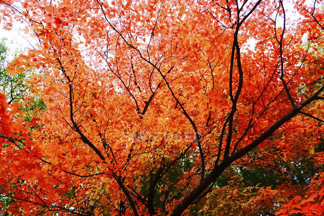 Red Maple tree leaves in autumn — Stock Photo