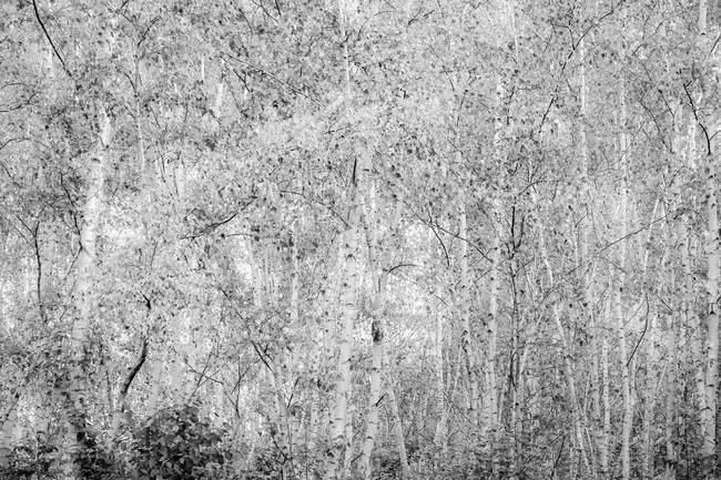 Черно-белый, березовый лес — стоковое фото
