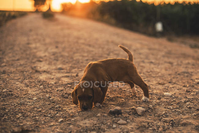 Brown puppy standing on a path smelling something at sunset — Stock Photo