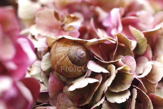 Caracol em pétalas de Hydrangea — Fotografia de Stock