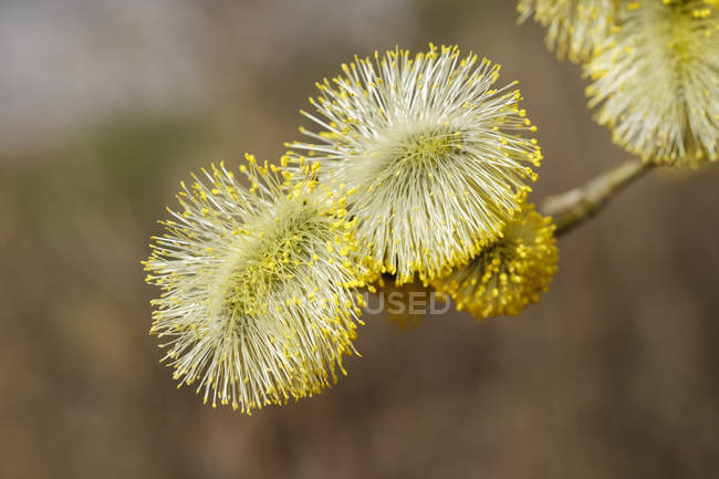 Male flowering willow, Salix caprea — Stock Photo