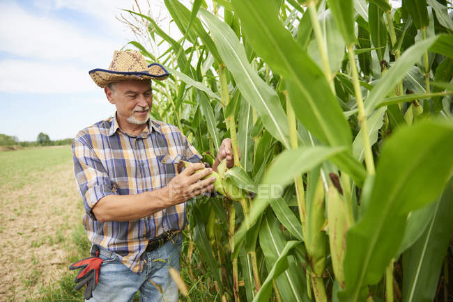 Agricultor em campo de milho examinando plantas de milho — Fotografia de Stock