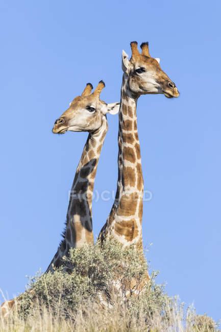 Africa, Botswana, Kgalagadi Transfrontier Park, Giraffes — стоковое фото