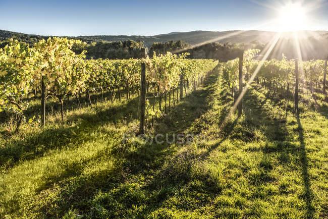 Italy, Tuscany, vineyard in backlight — Stock Photo