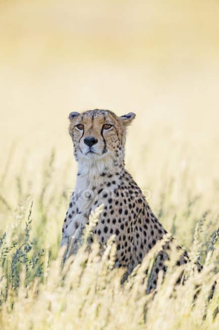 Botswana, Parco Transfrontaliero di Kgalagadi, Ghepardo, Acinonyx Jubatus — Foto stock