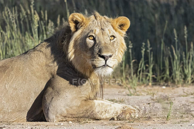Botswana, Parque Transfronterizo Kgalagadi, león macho joven, Panthera leo - foto de stock
