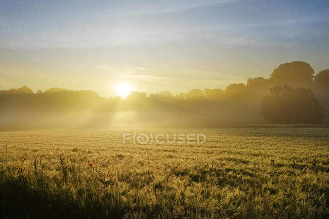 Germany, Bavaria, Swabia, Tussenhausen, Grain field and morning fog at sunrise, Augsburg Western Woods Nature Park — Stock Photo