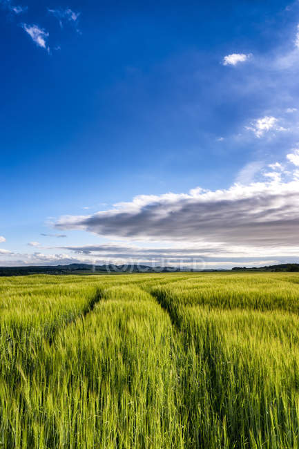 UK, Scotland, East Lothian, field of barley at evening twilight — Stock Photo
