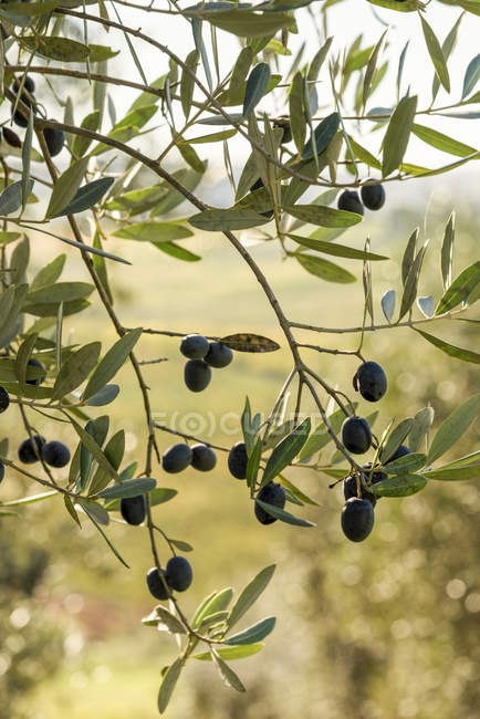Italy, Tuscany, ripe olives on tree — Stock Photo