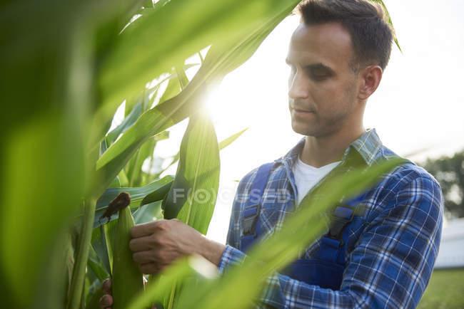 Caucasian farmer man at cornfield examining maize plants — Stock Photo