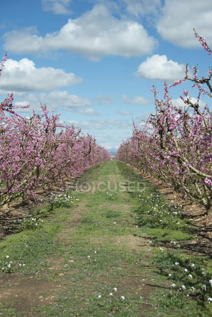 Испания, Айтона, ряды цветущих персиковых деревьев — стоковое фото