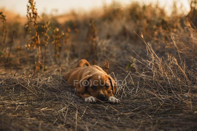 Щеня лежав на полі — стокове фото