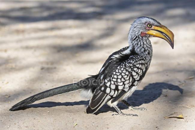Botswana, Kalahari, central Kalahari Game Reserve, amarelo-faturado Hornbill, Tockus flavirostris — Fotografia de Stock