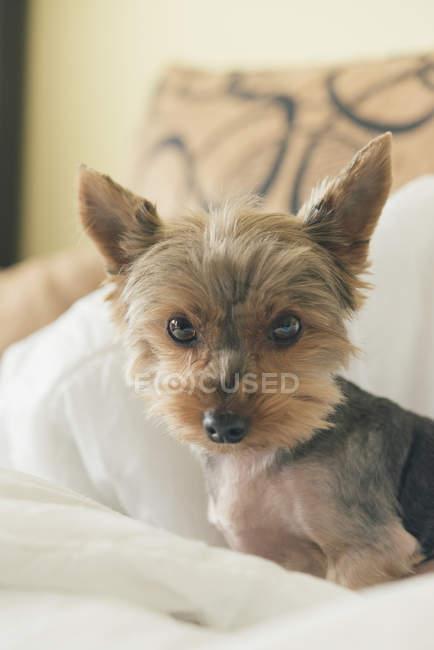 Ritratto di yorkshire terrier nel letto — Foto stock
