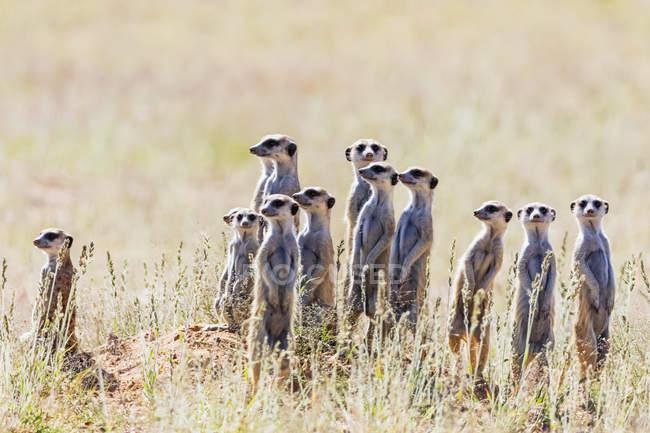 Botswana, Kgalagadi Transborder Park, Kalahari, Meerkats, Suricata suricatta — Foto stock