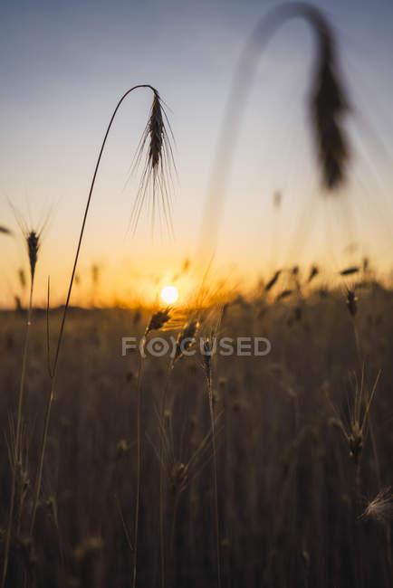 Orelhas em um campo no por do sol — Fotografia de Stock