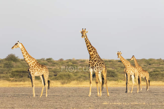 Botswana, Kalahari, Central Kalahari Game Reserve, — Stock Photo